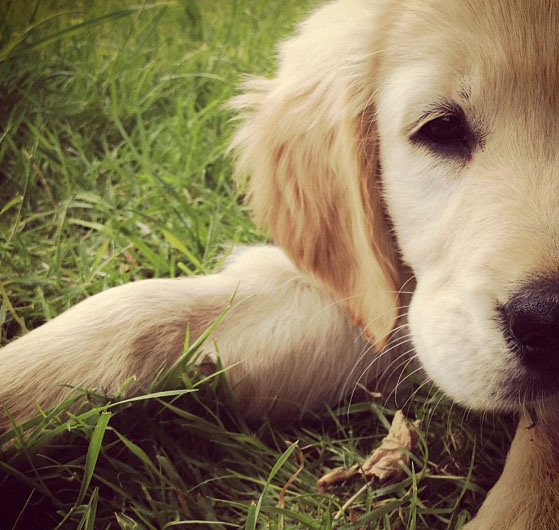 Golden Retriever als Welpe