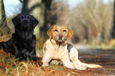 Zwei Labradore, zwei Farben