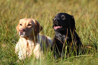 Labrador, blond und schwarz