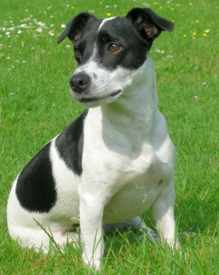 Jack-Russel-Terrier im Portrait