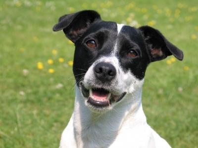 Jack-Russell-Terrier im Portrait