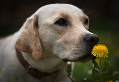 Blonder Labrador mit Blume