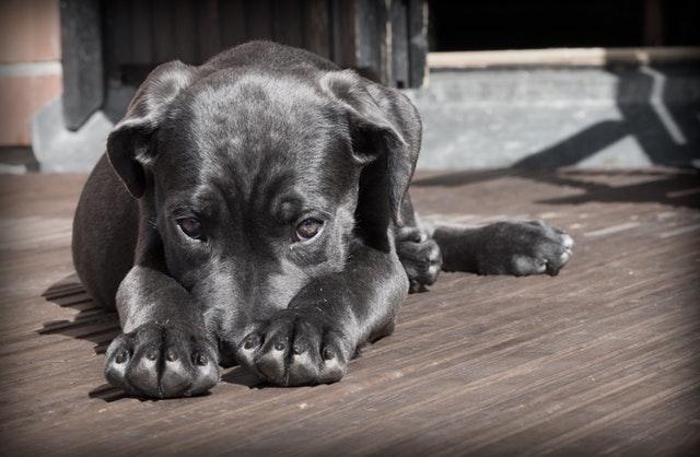 Hund auf der Terrasse liegende
