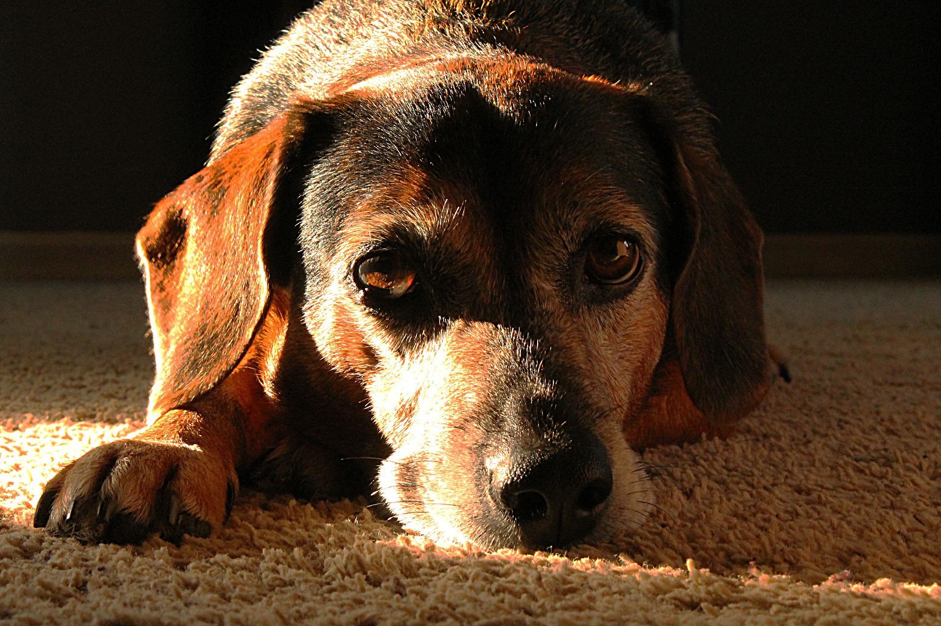 Älterer liebenswerter Hund