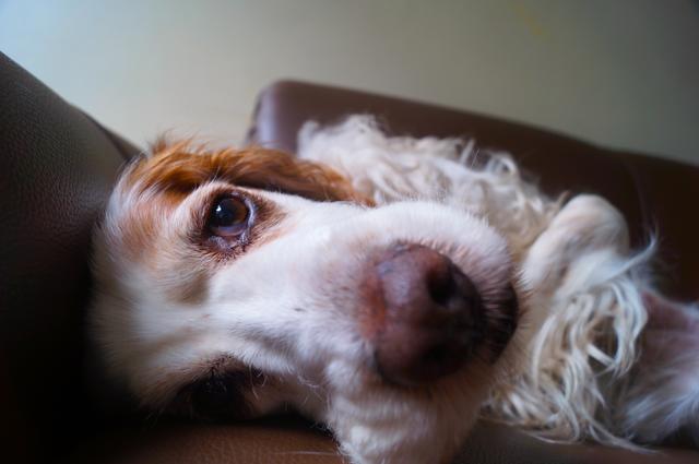 Müder Hund