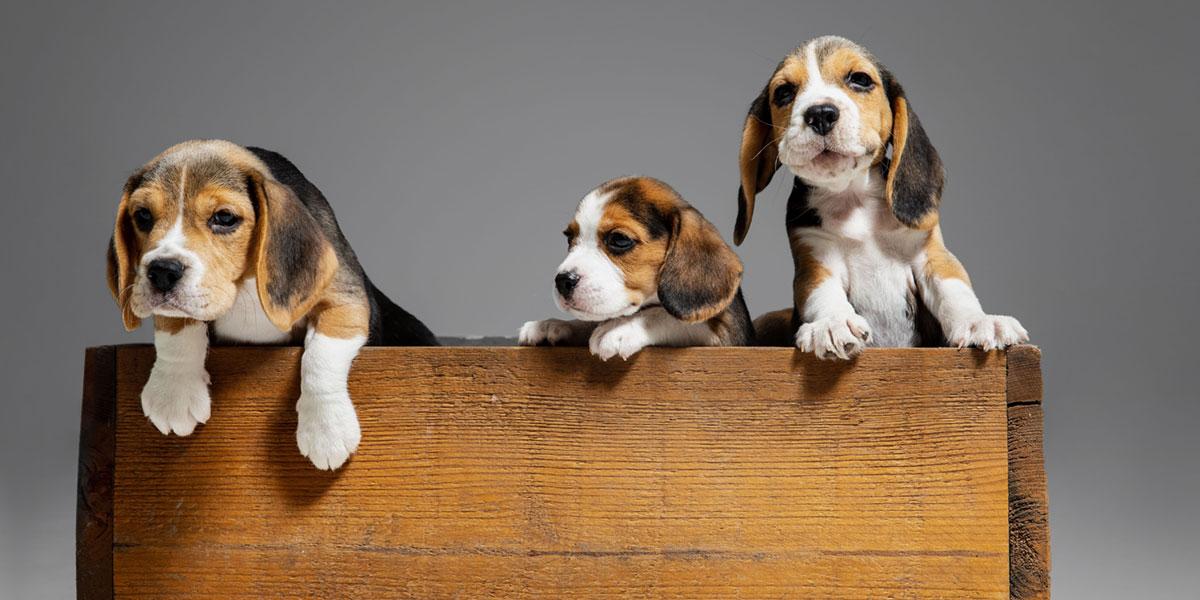 Hunderassen im Frohlinder Portrait: Beagle