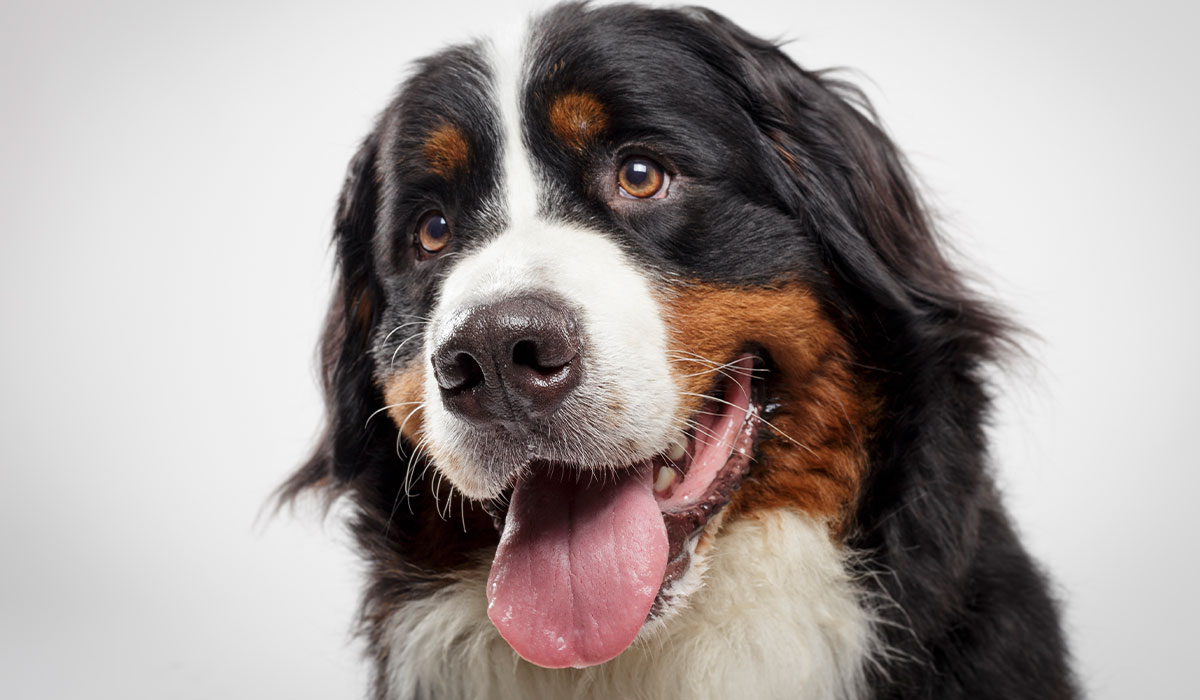 Hunderassen im Frohlinder Portrait: Berner Sennenhund